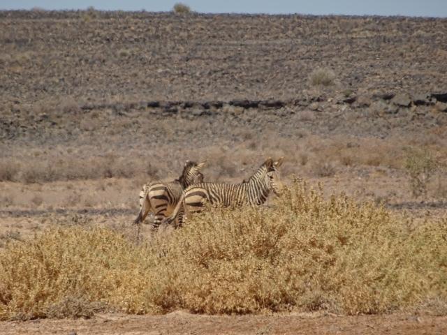 Zebras in der Steppenlandschaft