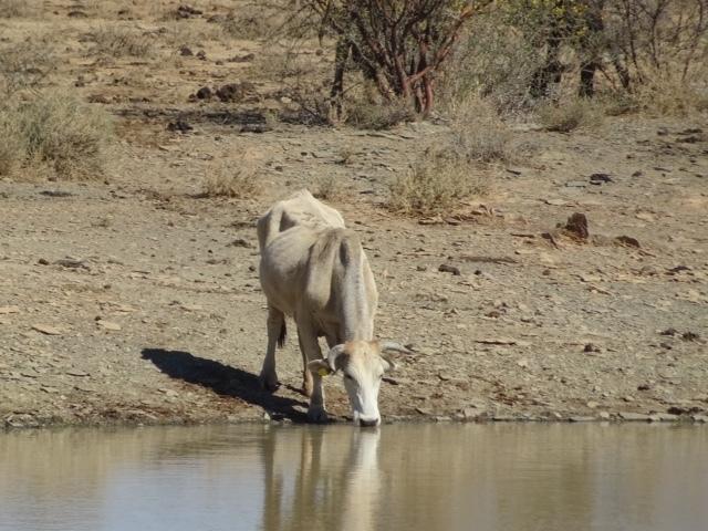 Trinkende Kuh