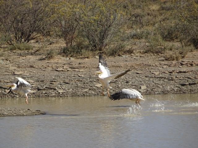 Pelikane in der Savanne