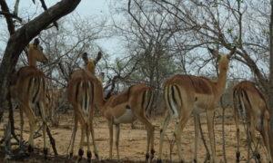 Die Big 5 und die McDonalds Dichte im Kruger