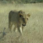 Der faule Löwe bewegt sich
