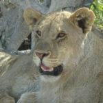 Löwen-Dame