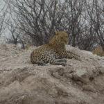 Chillender Leopard im Etosha