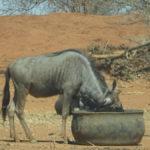 Trinkender Büffel
