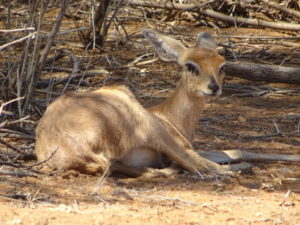 Gazelle am Straßenrand