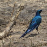 Blau schimmernder Vogel