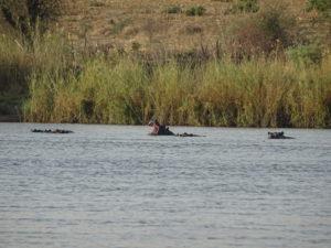 Hippo im Kavango River