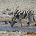 Durstiges Zebra