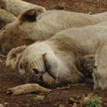 Schlafende Löwen