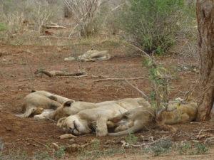 Big 5: Löwen
