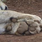 Löwentatze