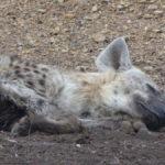 Schlafende Hyäne