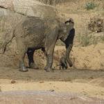 Elefantenbaby in trouble