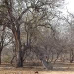 Chillendes Kudu