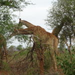 Giraffen im Nationalpark
