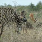 Zebras und Impalas