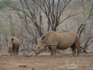 Nashörner im Kruger Nationalpark
