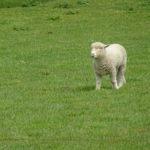 Schäfchen im Wollmantel