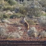Känguru is watching me