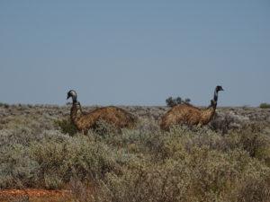 Outback in Australien: Emus