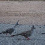 Australische Tauben