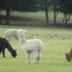 Alpaka steht stramm