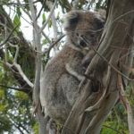 Koala Mama und Baby