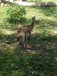 Süßes Känguru