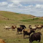 Neuseeländische Kühe