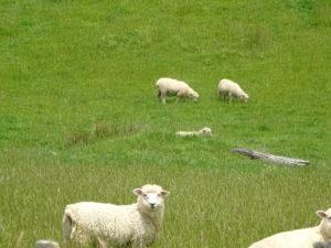 Einige von vielen neuseeländischen Schafen