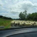 Schafe überholen uns
