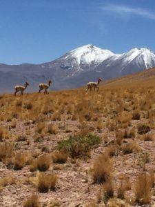 Chilenische Lamas
