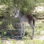 Argentinischer Baby-Esel