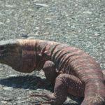 Reptil #1