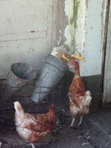 Das tote Huhn und seine Freunde