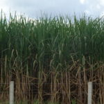Zuckerrohrfeld, Brasilien