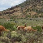 Herbert das Lama und seine Freunde