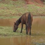 Trinkendes Pferd am Strassenrand