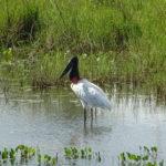 Jaburu (Storch im Pantanal)
