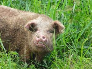 Schwein kreuzt den Weg