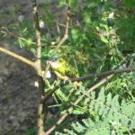 Gelber Vogel im Pantanal