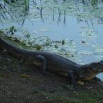 Angst? Krokodil 1m von mir entfernt