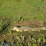 Hechelndes Krokodil