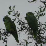 Papageien im Ast