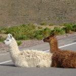 Lamas auf der Straße