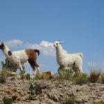 Süße Wollknäuel in Bolivien
