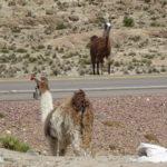 Lamas chillen