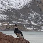 Kondor, Wappentier Chiles