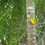 Gelber Vogel in Abadiania