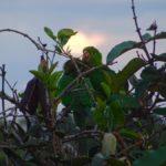 Grüne Papageien in Abadiania